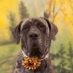 Fall dogs, Autumn, Bull Mastiff