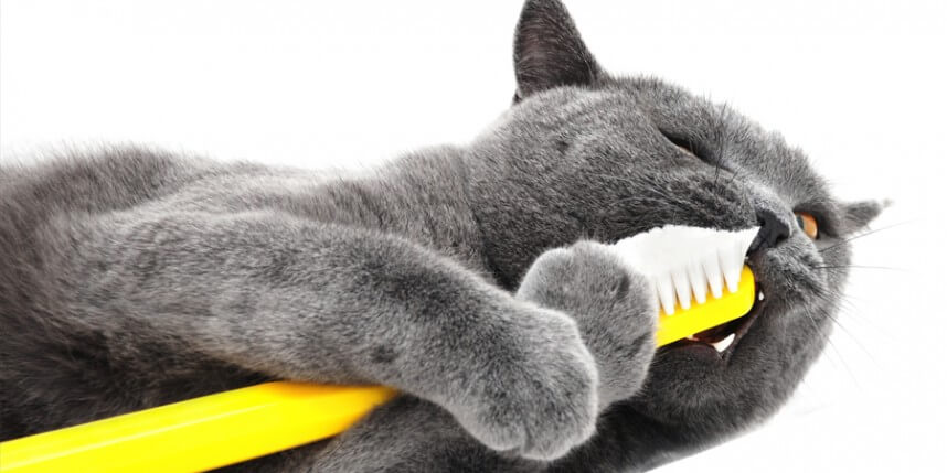 Do You Need To Brush Your Cat's Teeth?