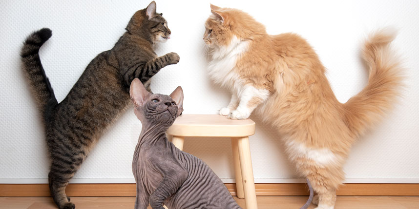Should I Get a Long-haired Cat, Short-haired Cat, or Hairless Cat?
