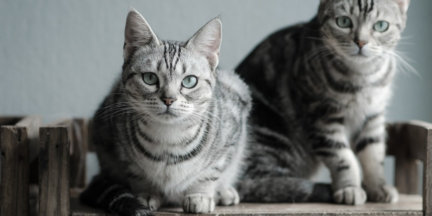 5 Benefits of Adopting Two Cats