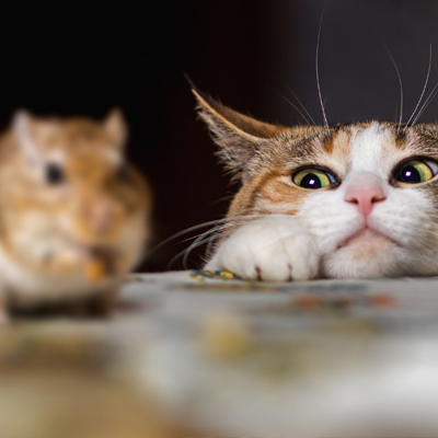 Cats were originally brought to the Americas in the 1750's from Europe to be pest controllers