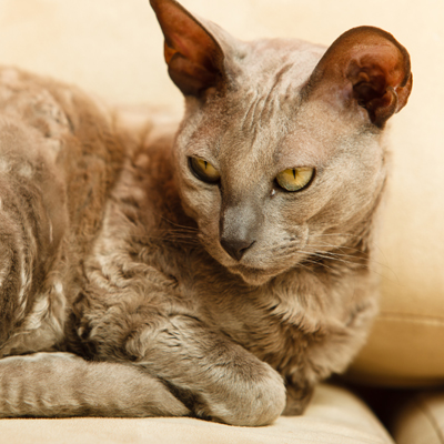 The oldest breed of cat is the Egyptian Mau
