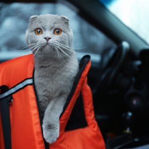 gray cat in orange travel carrier in car