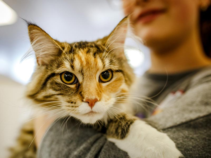 Ways to Help Shelters: Woman socializing cat